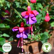 Fuchsia Upright Hardy General Monk Plug Plant