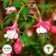 Fuchsia Upright Hardy Lady Thumb Plug Plant