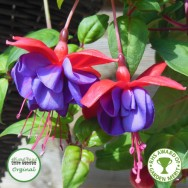 Fuchsia Trailing Dark Eyes Plug Plant
