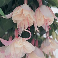 Fuchsia Trailing Happy Wedding Day Plug Plant
