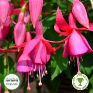 Fuchsia Trailing Jack Shahan Plug Plant