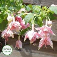 Fuchsia Trailing Natasha Sinton Plug Plant