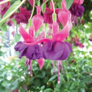 Fuchsia Trailing Paul Fisher Plug Plant