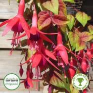 Fuchsia Trailing Autumnale Plug Plant