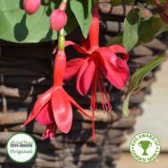 Fuchsia Trailing Marinka Plug Plant