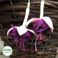 Fuchsia Trailing Velvet Crush Plug Plant