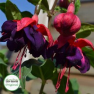 Fuchsia Trailing Voodoo Plug Plant