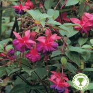 Fuchsia Upright Hardy Dollar Princess Plug Plant