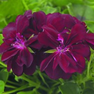 Geranium Trailing Double Global Merlot Plug Plant