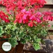 Single trailing geraniums