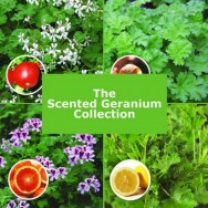 The Scented Geranium Collection (5 plug plants)