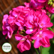Geranium Upright Flower Fairy™ Berry Plug Plant