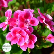 Geranium Upright Flower Fairy™ Rose Plug Plant