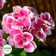 Geranium Upright Flower Fairy™ White Splash Plug Plant