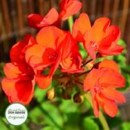 Geranium Upright Maestro™ Bright Scarlet Plug Plant