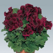 Geranium Upright Regalia™ Chocolate Plug Plant