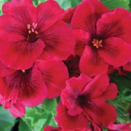 Geranium Upright Regalia™ Dark Red Plug Plant