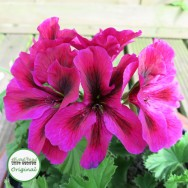 Geranium Upright Regalia™ Purple Plug Plant