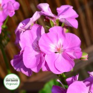 Geranium Upright Blue Wonder Plug Plant