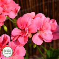Geranium Upright Peach Kiss Plug Plant