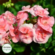 Geranium Upright Salmon Princess Plug Plant