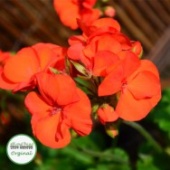 Geranium Upright Shocking Orange Plug Plant