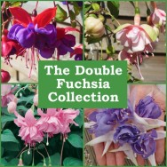 The Double Fuchsia Collection (6 plug plants)