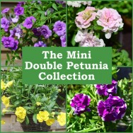 The Mini Double Petunia Collection (6 plug plants)