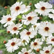 Coreopsis Coloropsis™ Limbo Plug Plant