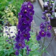 Delphinium Black Knight Plug Plant