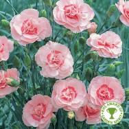 Dianthus Doris Plug Plant
