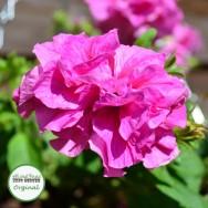 Petunia Tumbelina® Candyfloss Plug Plant