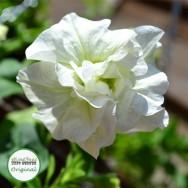 Petunia Tumbelina® Melissa (scented) Plug Plant
