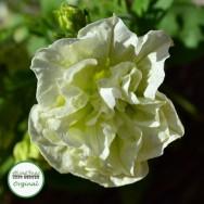 Petunia Tumbelina® Susanna Plug Plant