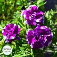 Petunia Mini-Me® Double Purple Picotee Plug Plant