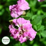 Petunia Mini-Me® Pink Plug Plant