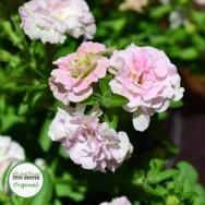 Petunia Mini-Me® Soft Pink Plug Plant
