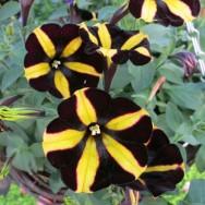 Petunia trailing Banoffee Pie Plug Plant