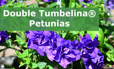 Buy Double Tumberlina Petunia Plugs Online
