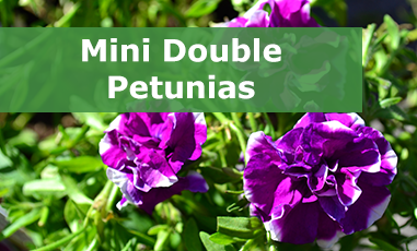 Buy Mini Double Petunia Plug Plants
