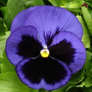 Pansy F1 Blue Blotch mini-plug bedding plants