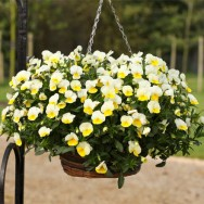 Pansy Freefall F1 Cream mini-plug bedding plants