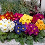 Polyanthus Crescendo® F1 Mix mini-plug bedding plants
