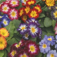Primrose Starflame F1 Mix mini-plug bedding plants