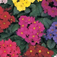 Primrose Wanda Mix mini-plug bedding plants