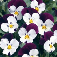 Viola F1 White Jump Up mini-plug bedding plants