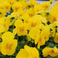 Viola F1 Yellow mini-plug bedding plants
