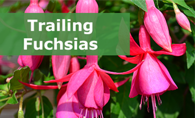 Buy trailing fuchsias