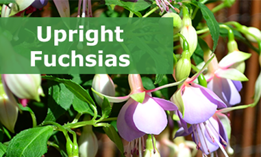 Buy upright fuchsias