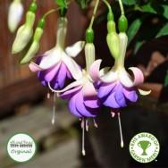 Fuchsia Upright Hardy Deltas Sarah Plug Plant